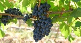 Malbec Grapes Mendoza Argentina