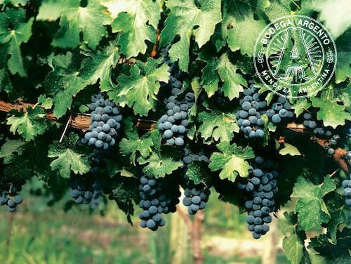 Mendoza Argentina Wine Grapes Malbec