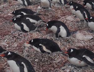 Argentina Travel: Gentoo Penguins
