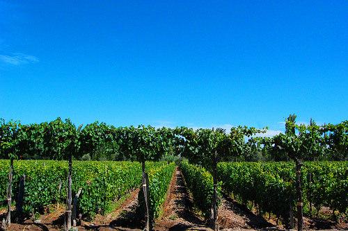 Mendoza Vineyard by The Daily Hawaiian
