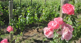 Vines and Roses – Photograph by Andrew Catchpole
