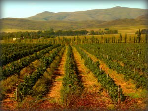 Argentina Wine - Malbec Vineyard