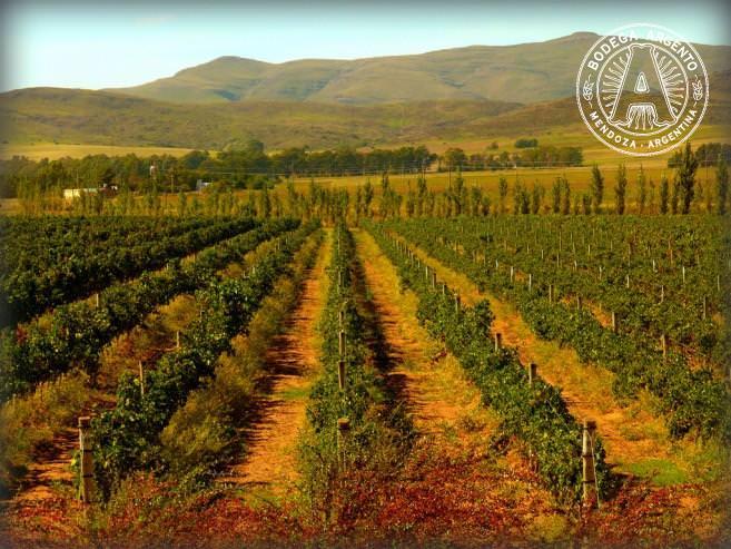 Wine malbec vineyard