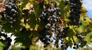 Grapes in Mendoza