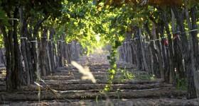 Parral Vineyard