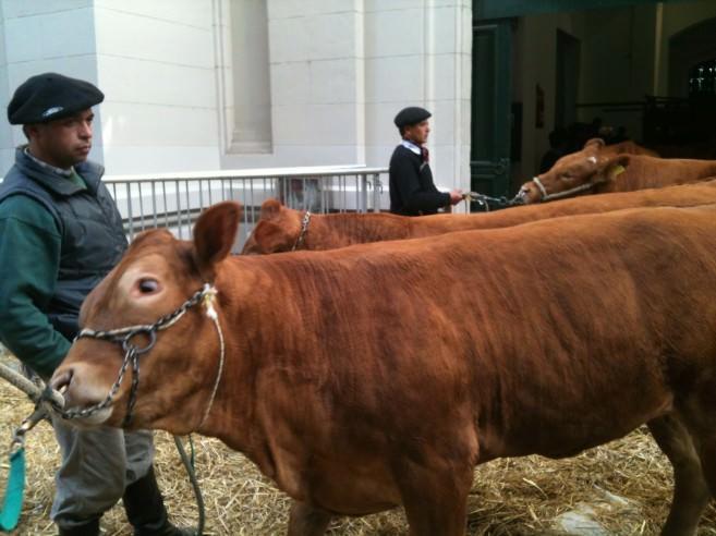 Cows await parade