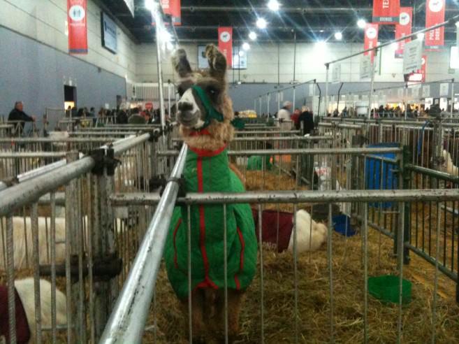 Llama keeping warm