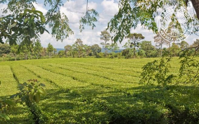 Yerba mate tea growing in a field