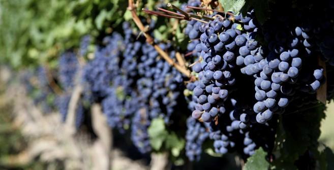 Malbec grapes in Mendoza