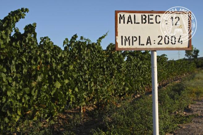 A Malbec vineyard planted in 2004