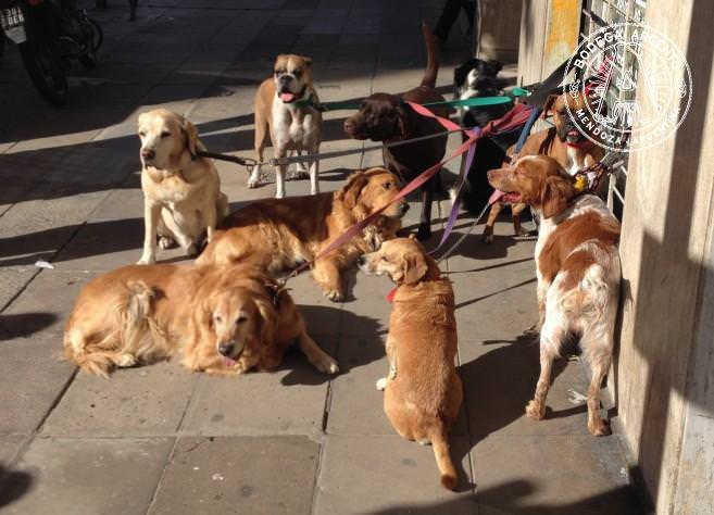 A pack waiting for their paseador; photo by Caitlin McCann
