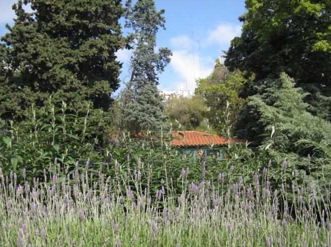Lavender in the Botanical Garden; photo by Louise Carr de Olmedo.